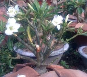 Cay hoa su nho3