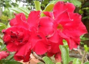Hoa su thai canh kep1