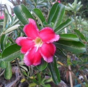 Hoa su thai lan 1