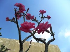 hoa su thai lan 2